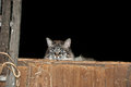 Barn cat in hay loft Royalty Free Stock Photo