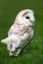 Barn owl against a background of blurred green foliage Stock Photography