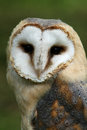 Barn owl against a background of green foliage tyto alba Stock Image