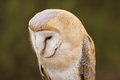 Barn Owl or Common Barn Owl Royalty Free Stock Images
