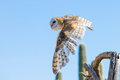 Barn owl in flight after prey Royalty Free Stock Photo