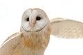 Barn owl in flight tyto alba alba italy Royalty Free Stock Photos