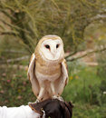 Barn owl handler holds out his leather glove for the to land Royalty Free Stock Images