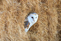 Barn owl in a hay bale barl hiding of Royalty Free Stock Image