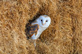 Barn owl in a hay bale hiding with blue sky reflected its eyes Royalty Free Stock Photography