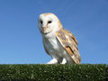 Barn owl on a hedge Stock Photography