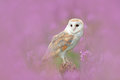 Barn Owl in light pink bloom, clear foreground and background, Czech Republic. Wildlife spring art scene from nature with bird. Ow