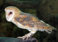 A barn owl at the naples zoo ghostly pale and strictly nocturnal owls are silent predators of night world lanky with whitish face Royalty Free Stock Photo