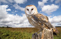 Barn owl a perched on a dead tree stump in a meadow owls are silent predators of the night world lanky with a whitish face Stock Photo