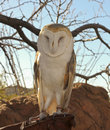 Barn owl perches docent s glove zoo Royalty Free Stock Photography