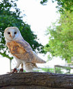 A barn owl photo of white and tan perched on branch looking sideways Stock Image