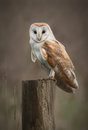 Barn Owl Portrait Stock Photography