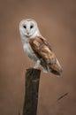 Barn Owl Portrait Royalty Free Stock Photo
