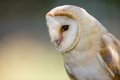Barn owl portrait close up profile of a Royalty Free Stock Images