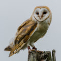 Barn owl on post Royalty Free Stock Photo