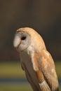 Barn owl profile Royalty Free Stock Photo