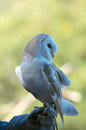 Barn owl profile full body portrait of australian white on gauntlet Royalty Free Stock Images