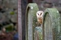 Barn owl resting on old gravestone at jewish cemetery Stock Photo