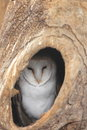 Barn owl the in the shelter Stock Photo