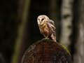 Barn owl sitting gravestone Stock Photos