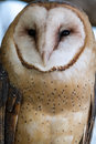 Barn owl sitting on large tree branch in shade Stock Photo