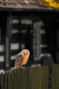 Barn owl sitting on wooden fence before country cottage, bird in habitat Royalty Free Stock Photo