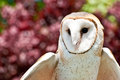Barn owl a about to take flight Royalty Free Stock Photos