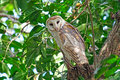 Barn owl on a tree Royalty Free Stock Photos