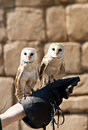 Barn Owl (Tyto Alba) Stock Photos