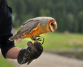 The Barn Owl  Tyto alba Royalty Free Stock Photos