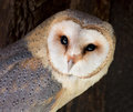 Barn owl tyto alba the is the most widely distributed species of and one of the most widespread of all birds Royalty Free Stock Photo