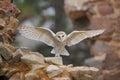 Barn Owl, Tyto Alba, With Nice...