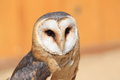 Barn owl the upper body of Royalty Free Stock Photos