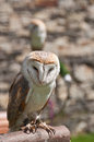 Barn owls Stock Photos