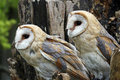 Barn owls Royalty Free Stock Images