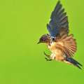 Barn swallow bird flying on green background Royalty Free Stock Photos