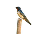 Barn swallow bird resting while feeding the chicks Royalty Free Stock Photos
