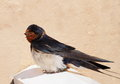 Barn swallow hirundo rustica european Royalty Free Stock Images