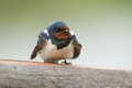 The barn swallow hirundo rustica is the most widespread species of swallow in the world Stock Images