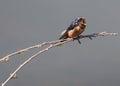 Barn Swallow Singing a Song Royalty Free Stock Photo