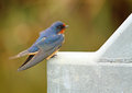 Barn swallow sitting metal beam bridge Stock Photos