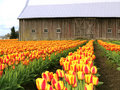 Barn Tulips Royalty Free Stock Images
