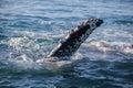 Barnacle encrusted fluke of a humpback whale sardine Stock Photos