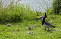 Barnacle Geese with Chicks Royalty Free Stock Photo