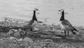 Barnacle geese with chicks at jokulsarlon ice lagoon Royalty Free Stock Photography