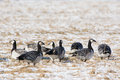 Barnacle geese on the field in springtime estonia Stock Photo