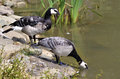 Barnacle geese near pond Stock Photography