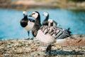 Barnacle Goose, Branta Leucops...