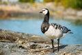 Barnacle goose branta leucopsis feral goose on wild bird rock in finland Royalty Free Stock Photos