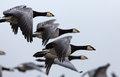 Barnacle goose branta leucopsis in flight Stock Image